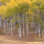 Aspens and Cattails
